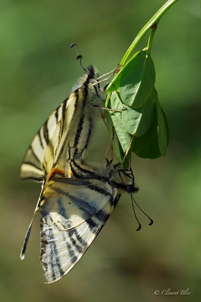 Photographier les papillons - Accouplement de Flambés. 12h en plein soleil.