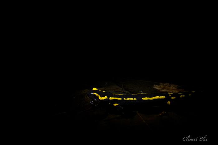 Salamandre,salamandra salamandra terrestris, mettant bas dans une mare.