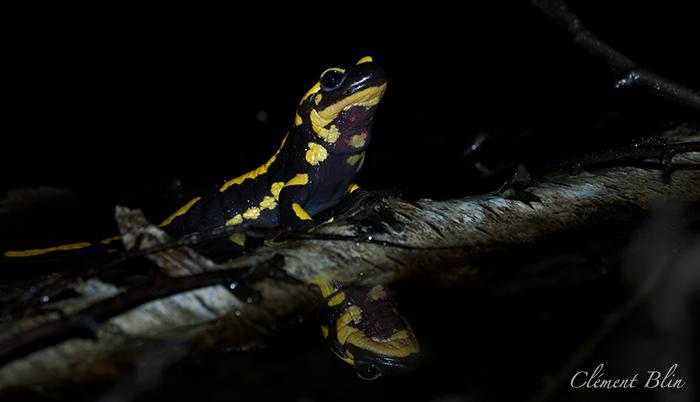 Salamandre tachetée, salamandra salamandra terrestris, mettant bas ses larves dans une mare.