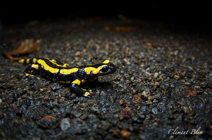 Salamandre tachetée, salamandra salamandra terrestris, marchant sur la route
