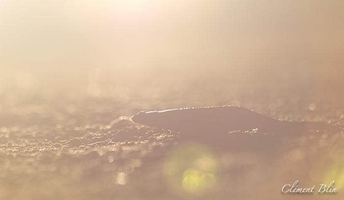 Salamandre tachetée, salamandra salamandra terrestris, traversant la route.