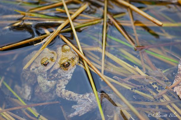 Couple de crapauds communs dans l'étang