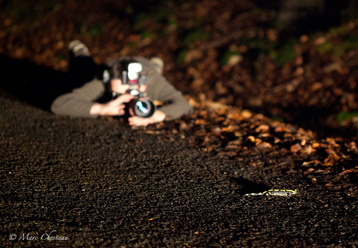 Photographe allongé devant une salamandre, salamandra salamandra terrestris