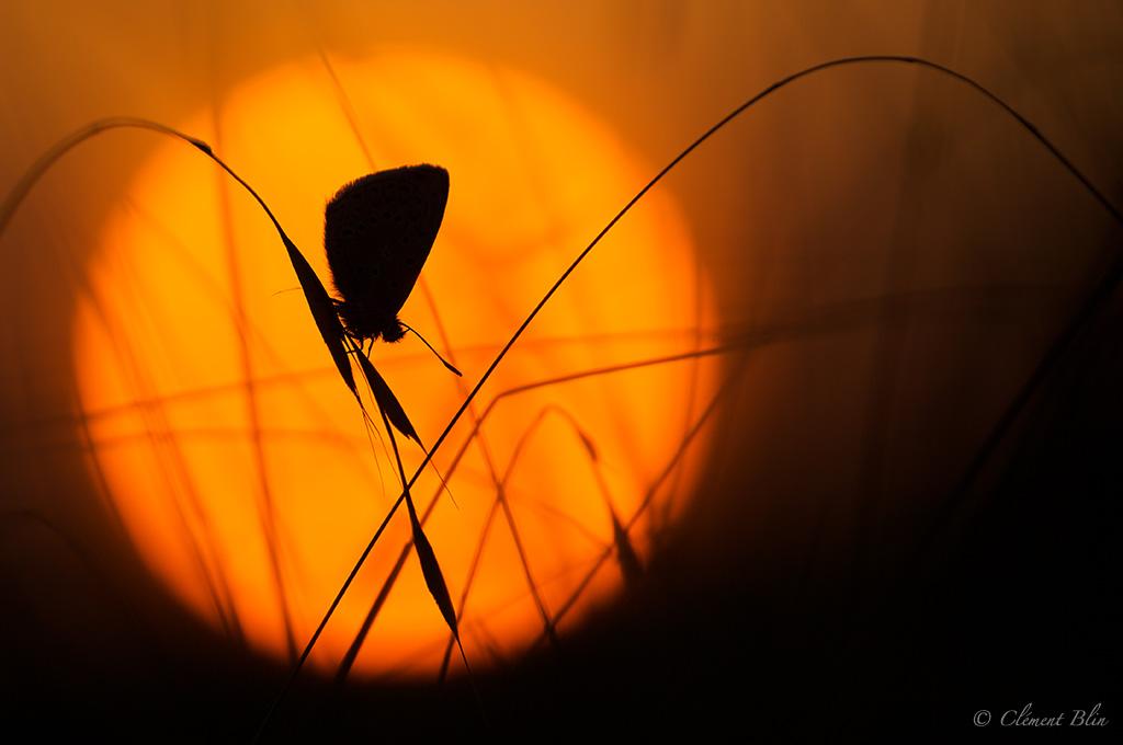 Sigma 180mm macro à pleine ouverture.Azuré dans le soleil couchant.