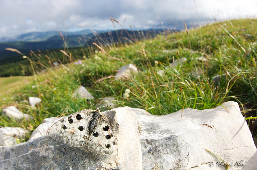 Photographier les papillons - Apollon sur les hauts plateaux du Vercors, photographié au 17mm