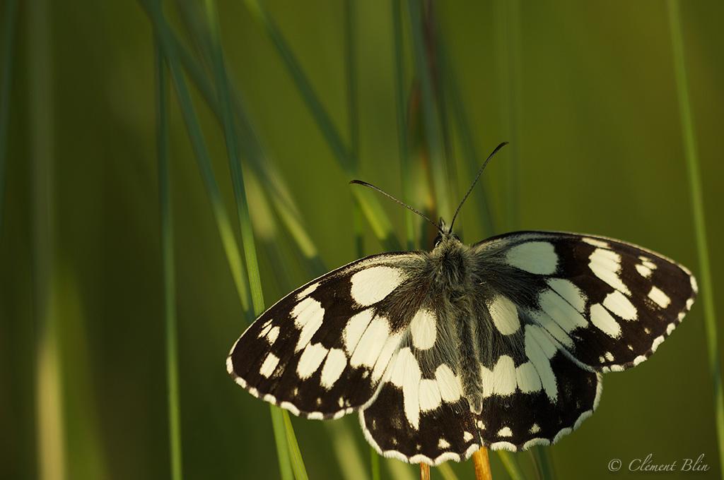 Photographier les papillons - Les demi-deuils ouvrent tous leurs ailes dès que les premiers rayons du soleil apparaissent