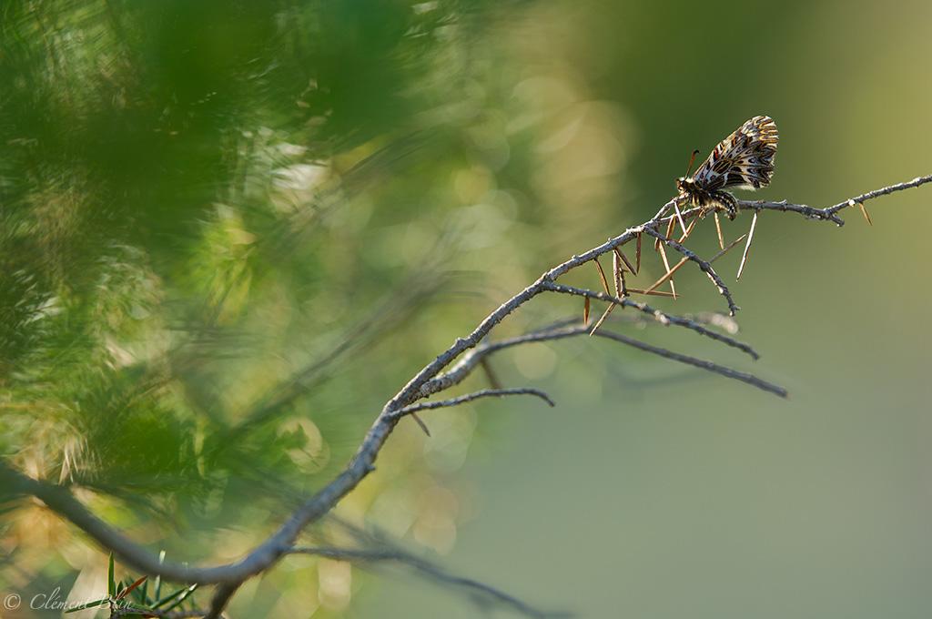 Photographier les papillons - J'ai suivi cette Diane jusqu'à ce qu'elle se pose. En me déplaçant lentement j'ai pu tourner autour du papillon sans qu'il ne s'envole.