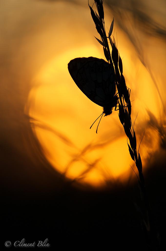 Photographier les papillons - Demi-deuil au couché du soleil - 180mm à f3,5