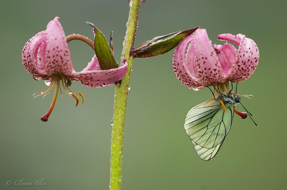 papillon gazé sous une fleur de lys martagon
