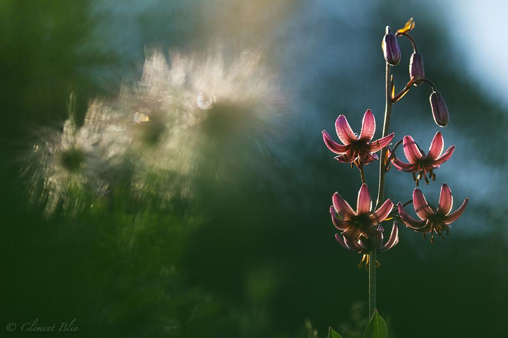 Lys martagon sous les premiers rayons du soleil