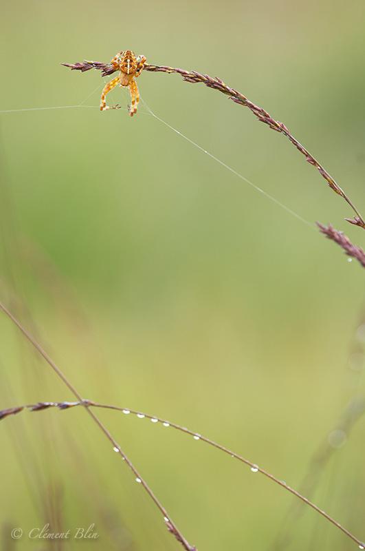 Epeire diadème tenant le bon bout, tourbière des creusates - Nikon D2x, 180mm macro, f4,5.