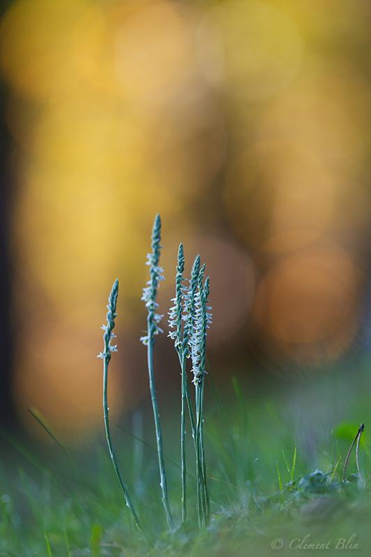 Spiranthe d'automne, Spiranthes spiralis