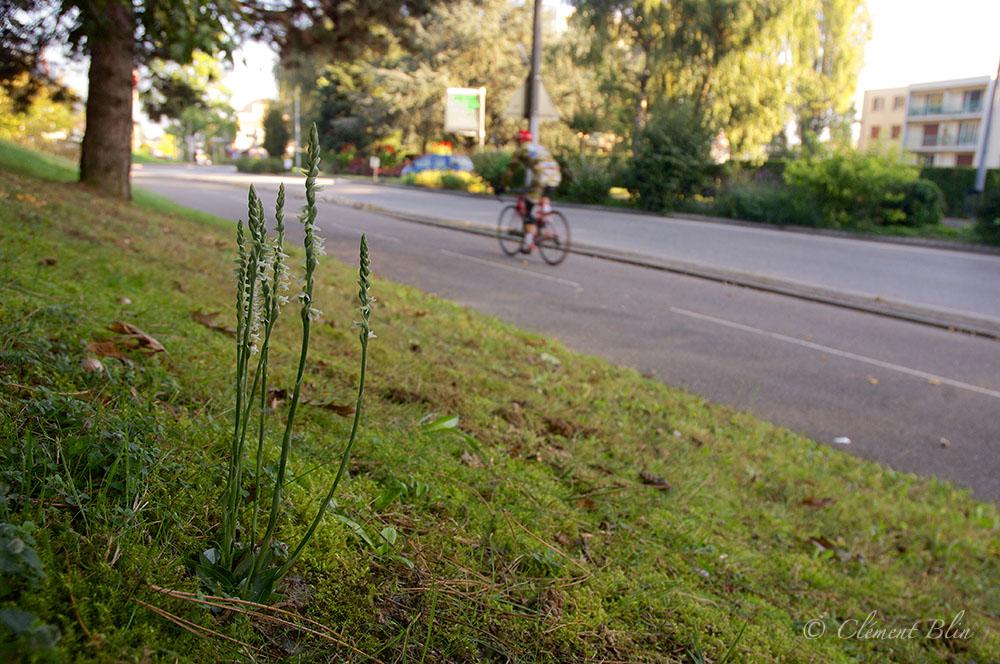 Spiranthe d'automne, Spiranthes spiralis en ville