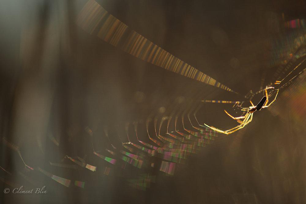 L'araignée du bord de l'eau.