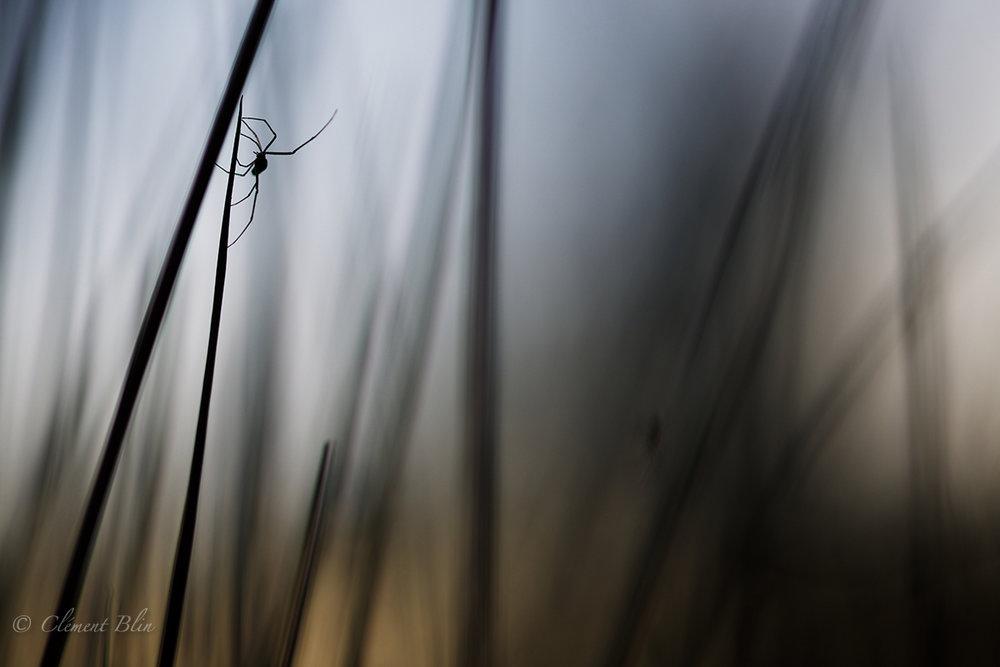 L'araignée du bord de l'eau-2