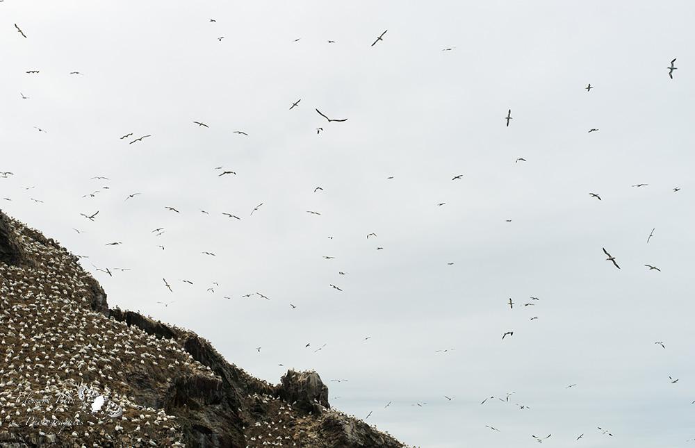 Colonie de fous de bassans à la réserve des Sept-îles.