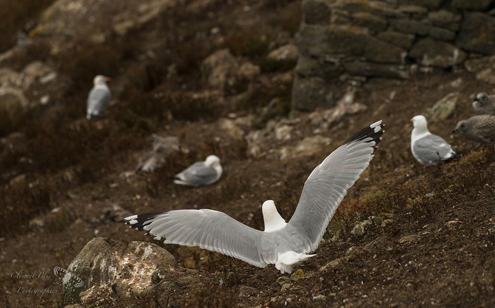 Atterrissage de goéland argenté à la réserve des Sept-îles