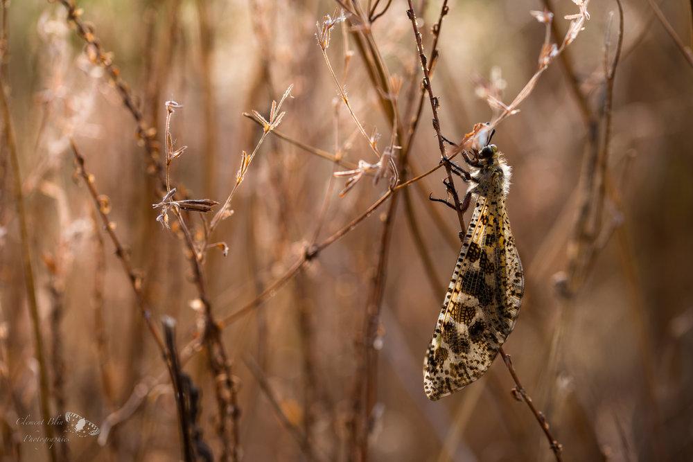 Palpares libelluloides dans les herbes.