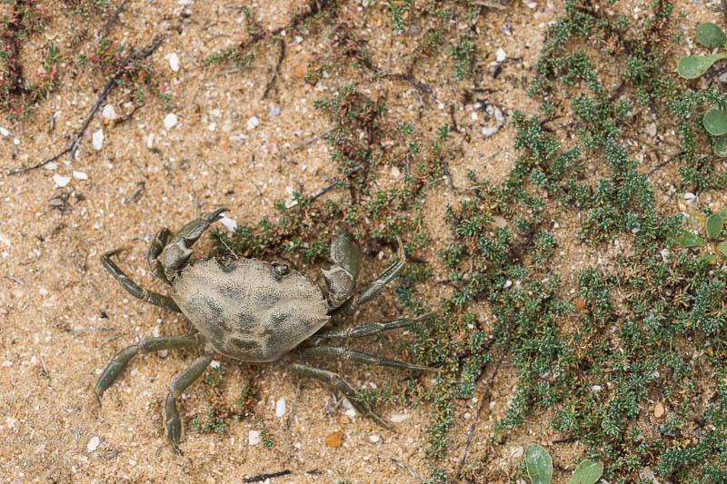 Crabe vert, pointe de l'Aiguillon, Vendée.