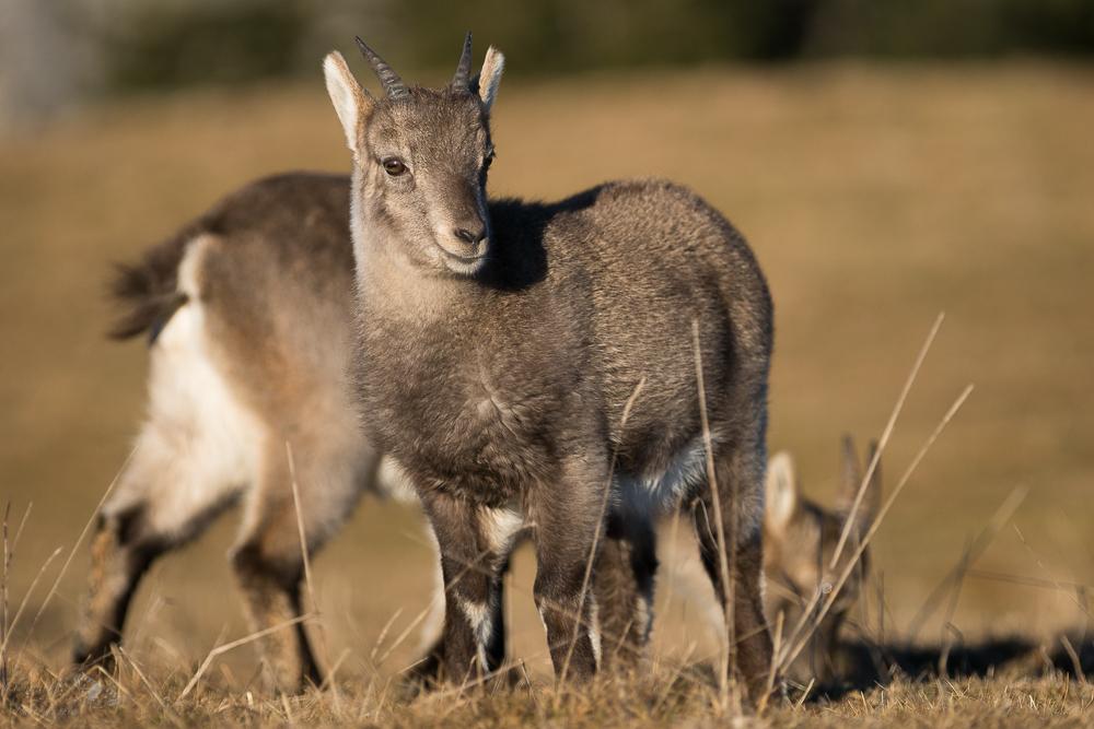 Jeune cabris. Les jeunes animaux sont les plus actifs et pourront parfois vous donner du fil à retordre !