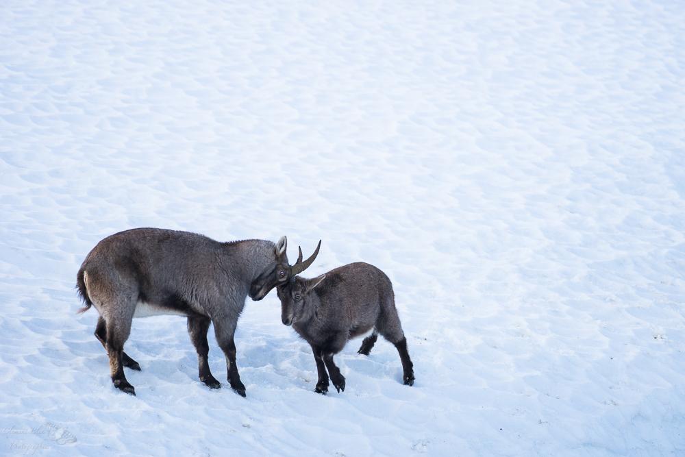 Jeux de cabris dans la neige.