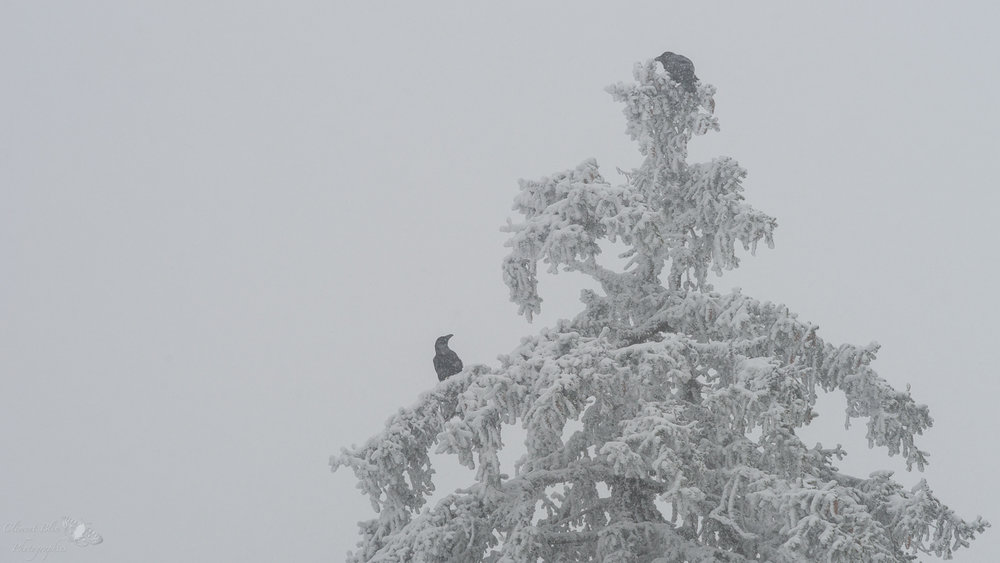 Deux grands corbeaux en pleine discussion !