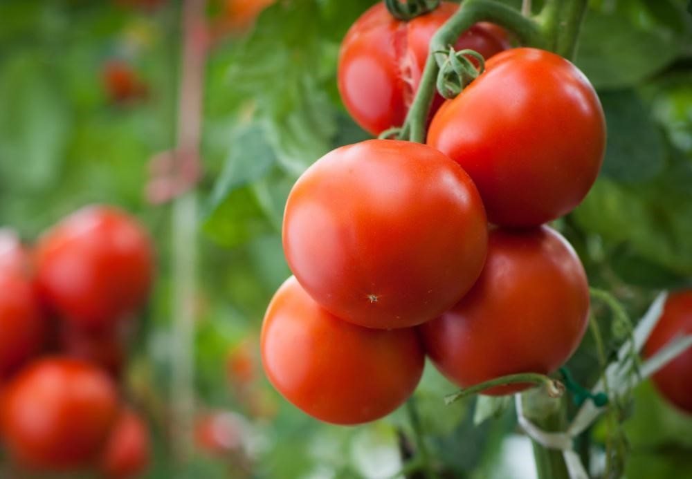 tomato-plants-with-large-red-tomatoes2.jpg