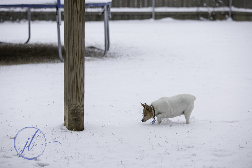 Snowy Toy Fox Terrier