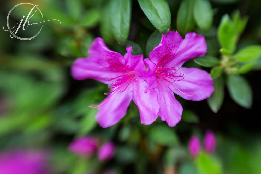 Azalea Flower Festival