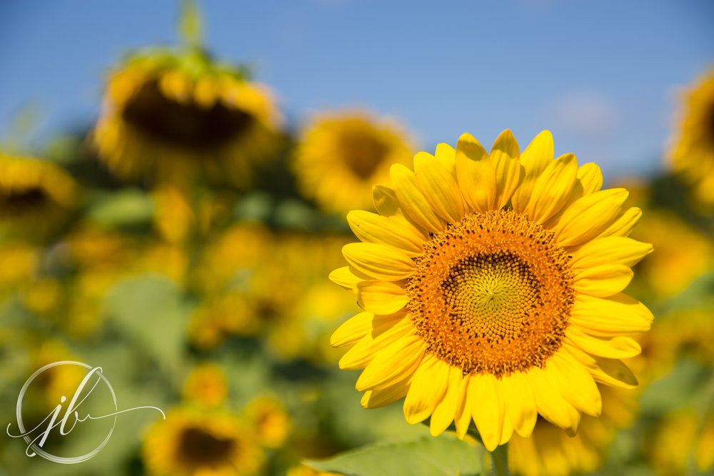 Shreveport Sunflower Photography