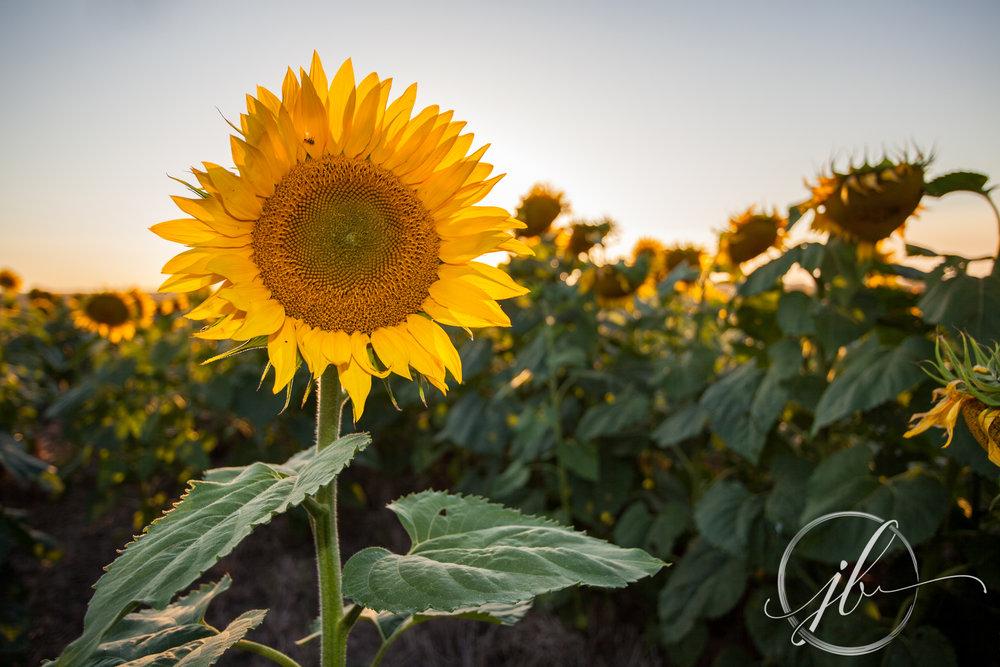 Gilliam Sunflower Festival
