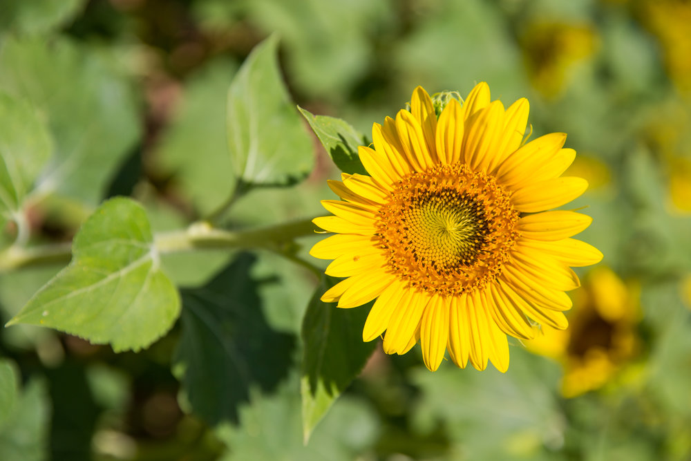Bossier Sunflower Photography