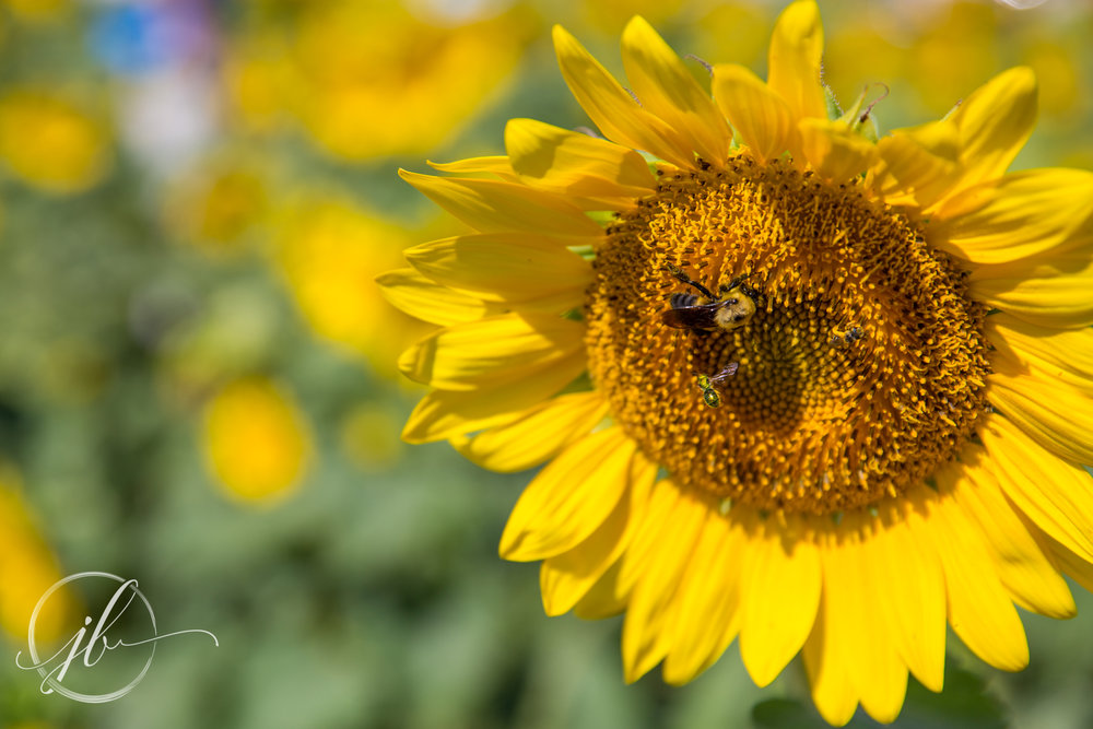 Louisiana Sunflower Photography