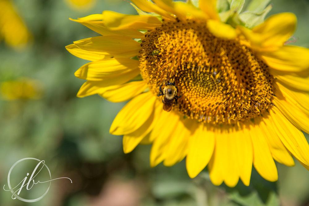 Sunflower Festival Gilliam