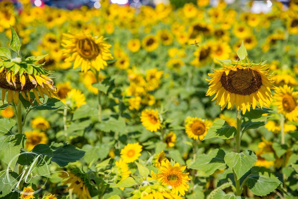 Gilliam Sunflowers