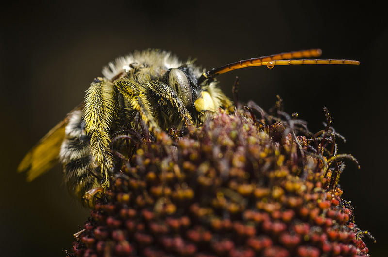 Sleeping Long-Horned Bee