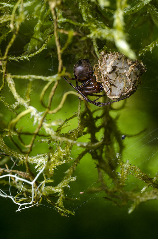 Spider Guarding Egg Sac Under Mossy Branch - Pimoa altioculata