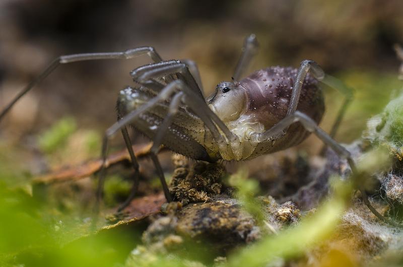 Opiliones - Taracus ubicki
