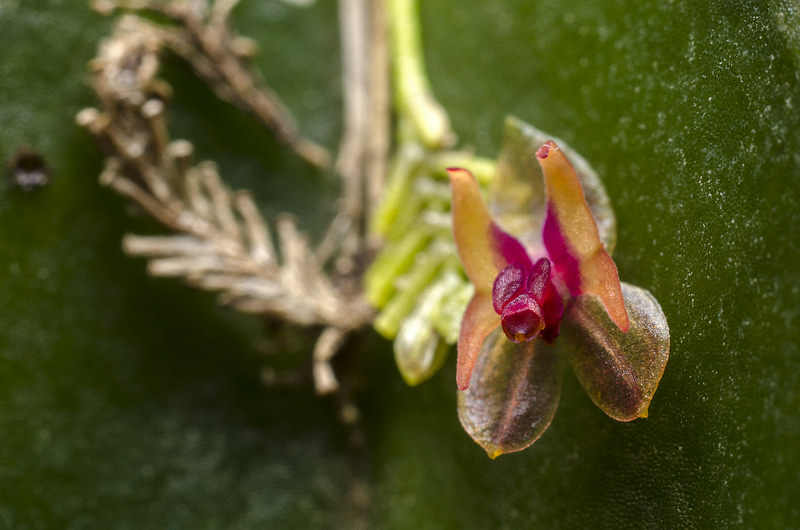Lepanthes turialvae