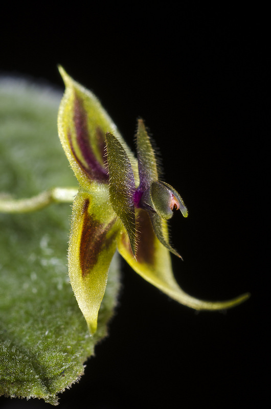 Lepanthes dodsonii