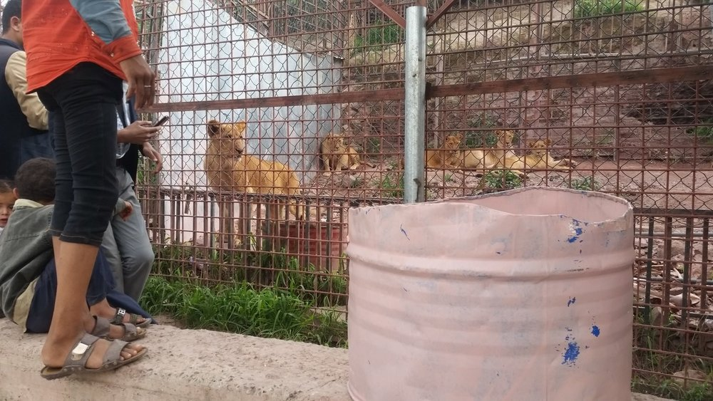 Ibb Zoo Emergency rescue Mission water pail for the lions 9 July 2017 KMB.jpg
