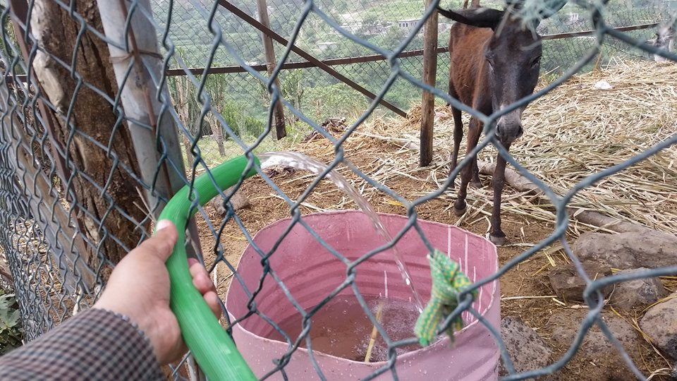 Ibb Zoo Yemen 12 July 2017 Donkeys getting water at last water hose delivery donatzed by Ibb Zoo Emergency Rescue Mission KMB.jpg