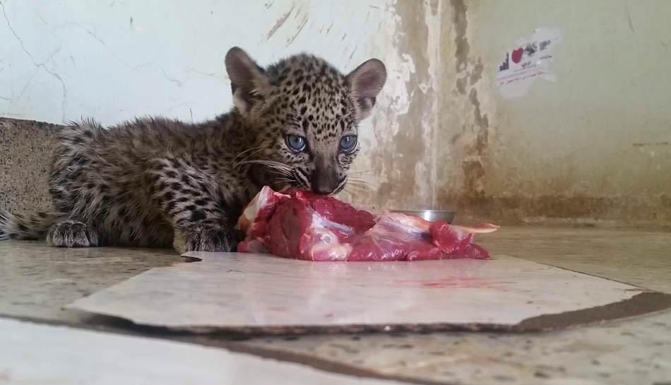 18009871_1835834130073240_1973984526_n17 april 2017 taiz zoo kim michellel brodericks rescue.jpg