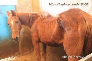 Arabian+Police+Horses+Rescue+Mission+Sana'a+Yemen+HorseRescue.jpeg