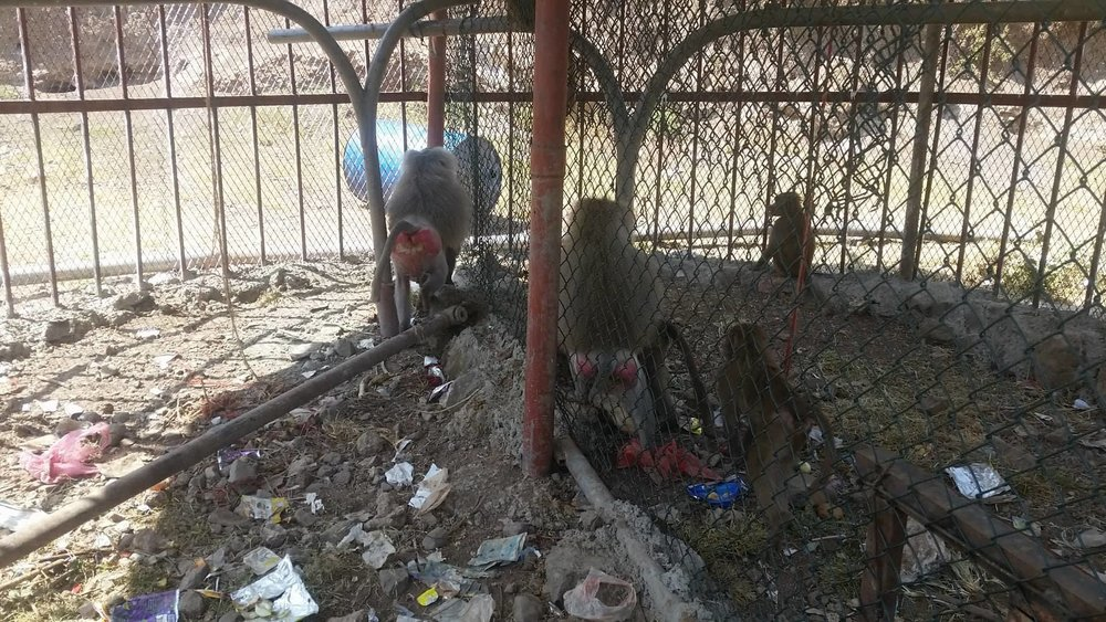 Ibb Zoo OWAPAR 22 october 2017 end of those sauna crates Yemen rescue.jpg