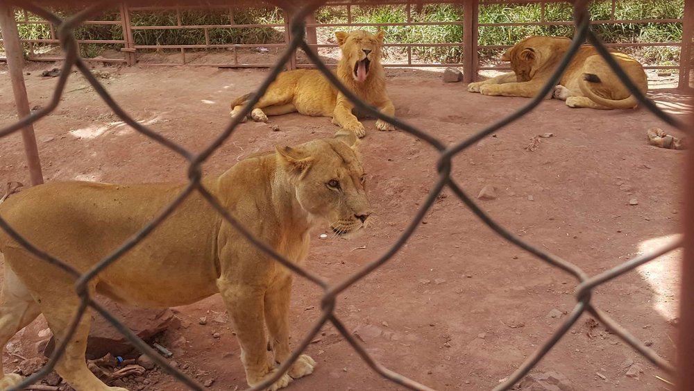 Ibb Zoo Lions yawnOWAP AR Kim's Salman AlHadi pics.jpg
