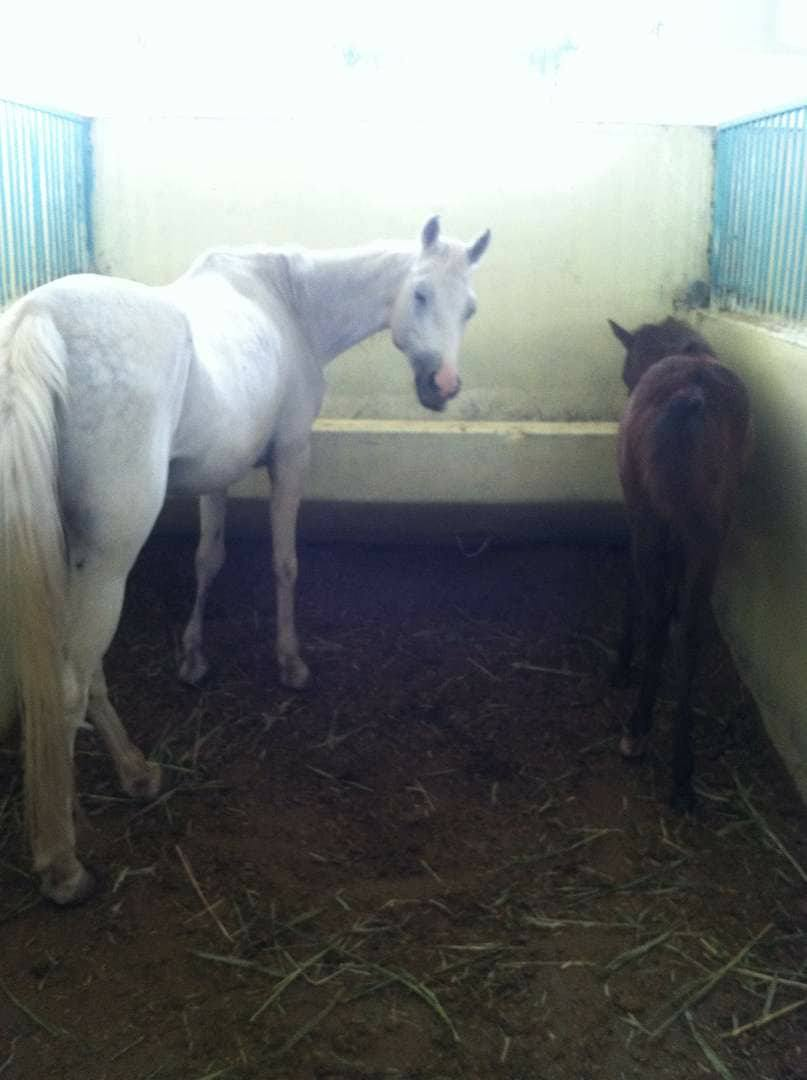 arabian mum and foal The Police Ac OWAP AR 17 oct 2017.jpg
