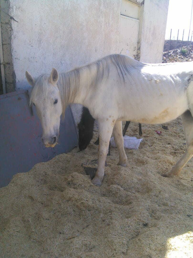 Dhamar horses and foal OWAPAR Yemen .jpg