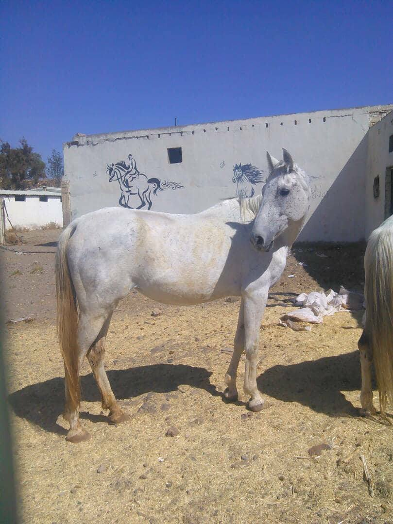 dhamar stables abanonded farm Arabian Hporses rescue OWAP-AR.jpg