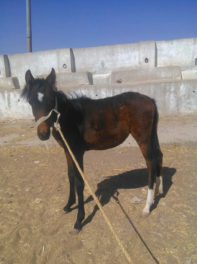 dhamar foal he needs milk 4 dec 2017 OWAP AR.jpg